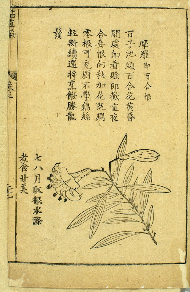 Woodcut and explanatory verse depicting moluo (lily root). A translation of the verse reads: By Hundred Seeds Lake a hundred lilies bloom/ When the flowers open at dusk, they are well worth a closer look/ The young man looks forward to a night-time tryst, but the lady is reluctant/ When autumn comes the last flowers will all have withered away. [which is followed by] The root can be used in cooking/ It is not as fibrous as lotus root/ whose filaments remain intact when it is broken up/ When well cooked it is better than dragon