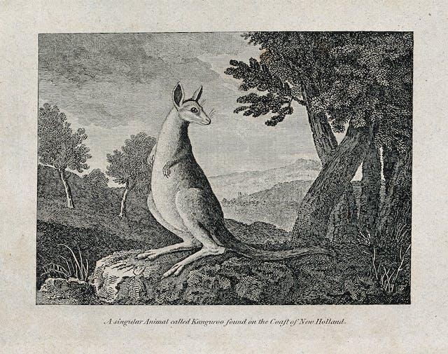 A kangaroo, etching