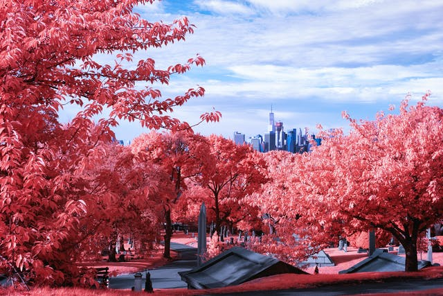 Infrared photograph of a landscape scene. The view is of a hill overlooking the New York City skyline in the distance. Below the canopy of pink trees is a path in a graveyard that is meandering past many gravestones. There is a man walking on this path. The pink hues replacing the greens of the grass and trees are a result of the infrared technique.