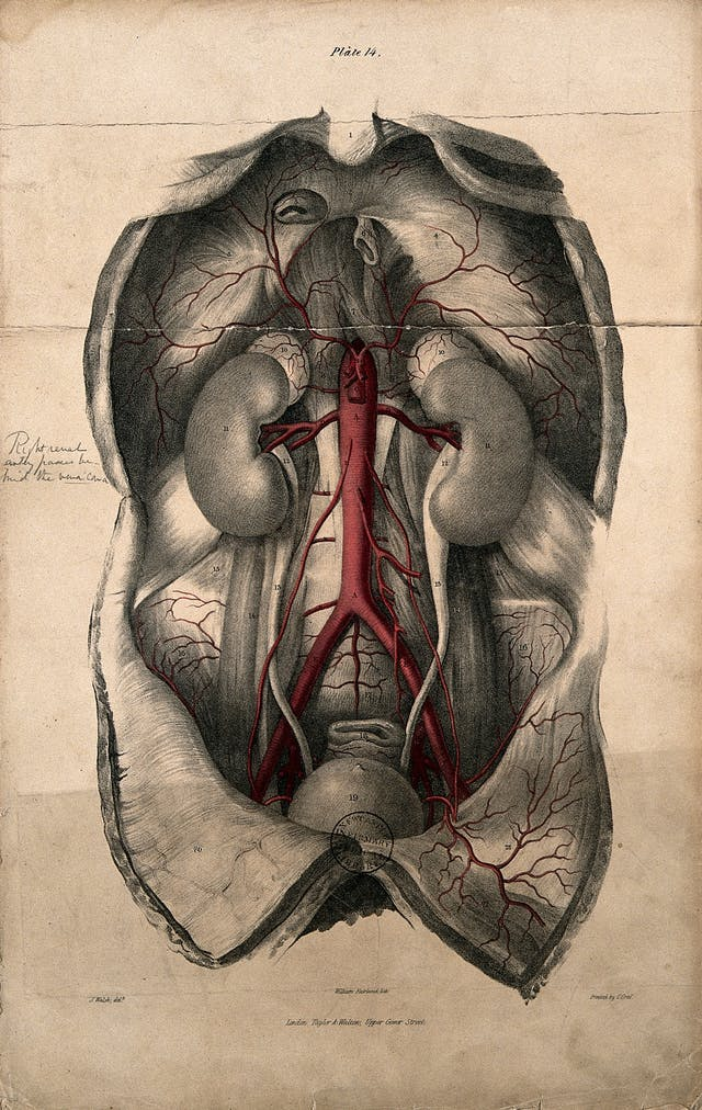 Lithograph showing a cut-open abdomen with the aorta coloured red.