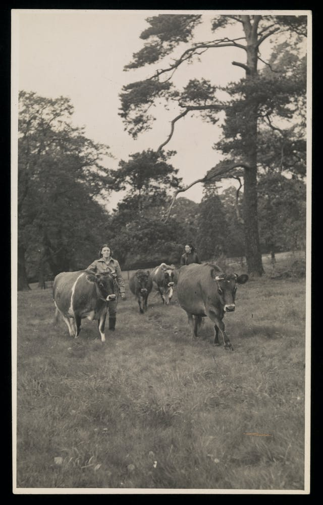 Black and white photograph showing two women leading four cows through a field.
