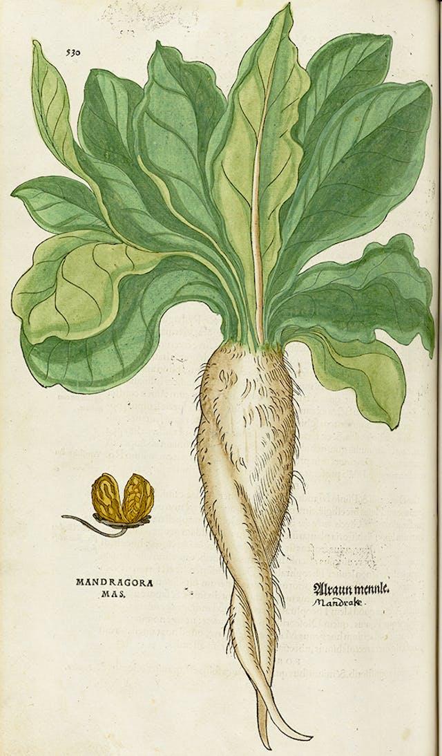Drawing of a Mandrake plant
