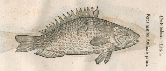 Black line engraving of a perch (fish).