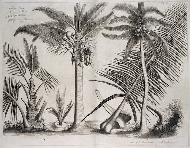 A black and white image of three palm trees, with fruit.