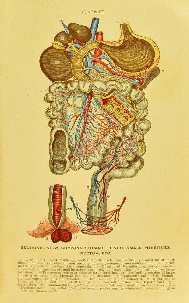 Anatomical plate showing sectional view of the stomach, liver, small intestines and rectum