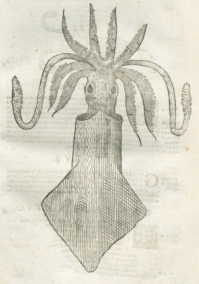 Line engraving of a squid.