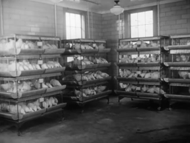 Still from black and white film featuring racks of cages filled with chickens in a battery farm.