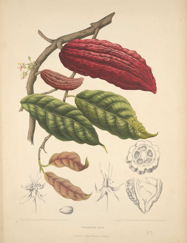Cacao (Theobroma cacao L.): fruiting and flowering branch with separate numbered sections of flowers, fruit and seed, c.1885