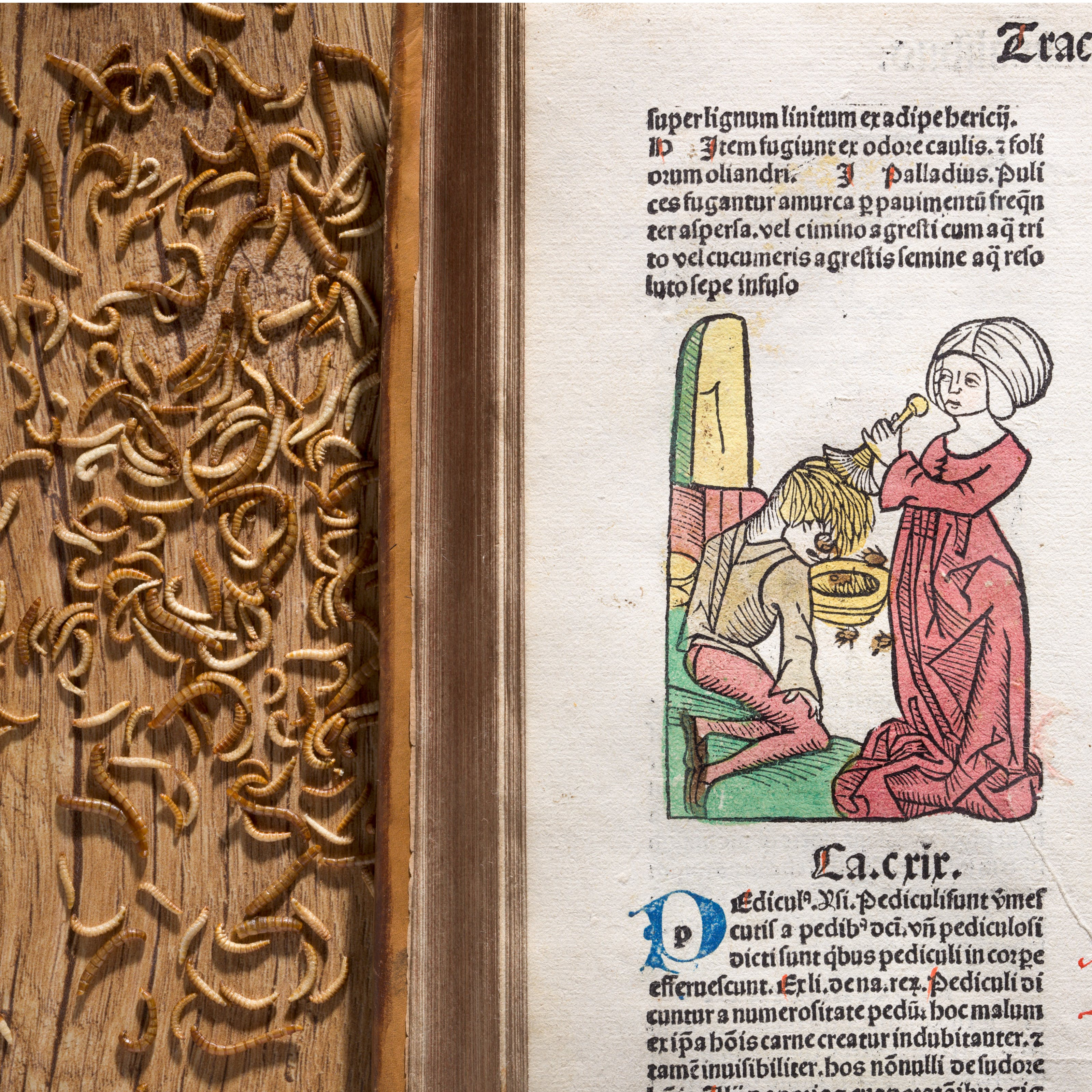Photograph of an illustration in an early printed book from the 15th century of a woman removing head lice from a young boy. behind the book on a wooden table top there is a gathering of worms.