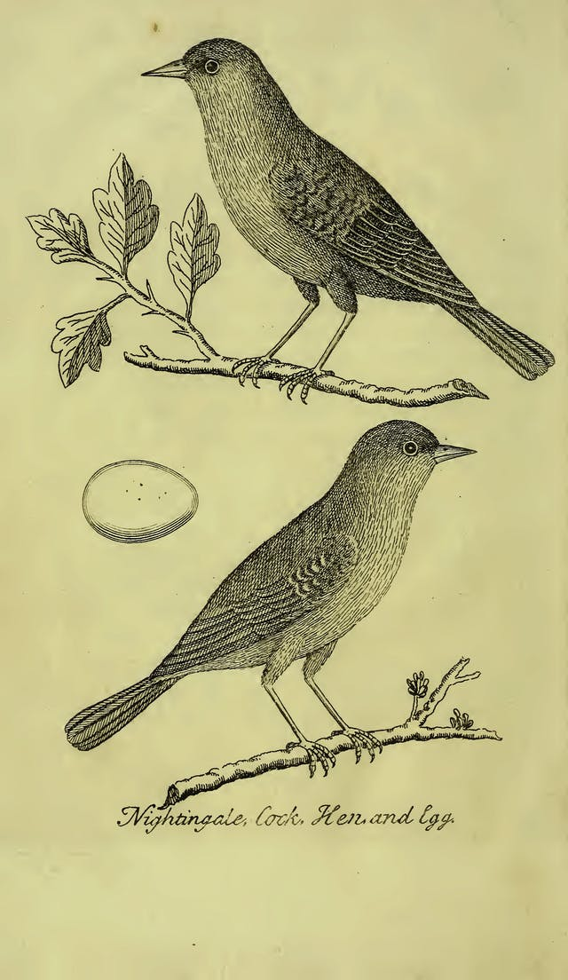 Black line etching of a nightingale cock, egg and hen.
