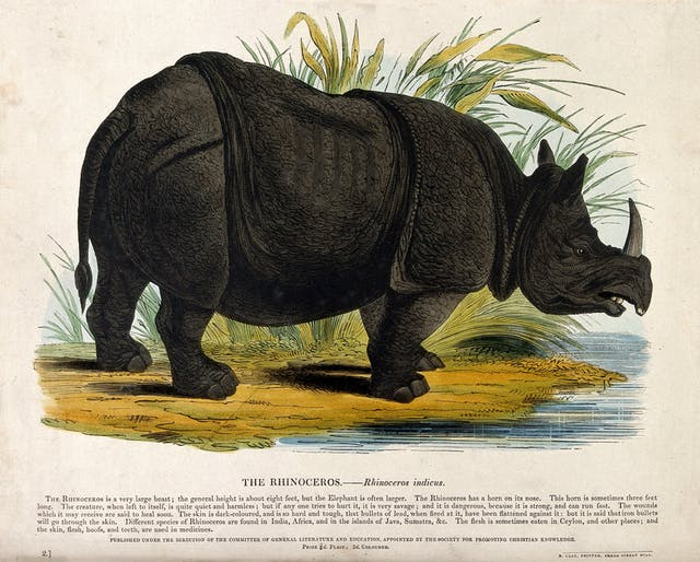 A rhinoceros standing on the shore of a lake