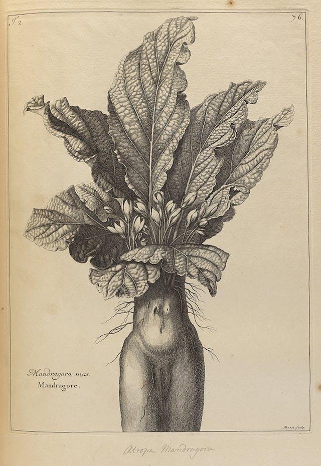 Drawing of a Mandrake plant 1701