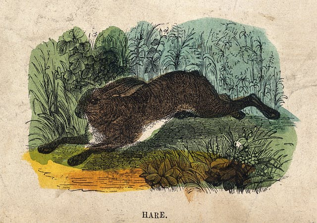 A Hare, coloured engraving