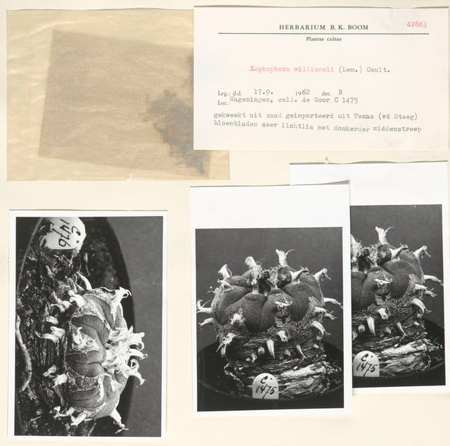 Botany specimen document page including a typed card with plant name lophophora williamsii (Lem.) Coult. and dated 1962, plus a sample of the cactus plant and three black and white photographs.