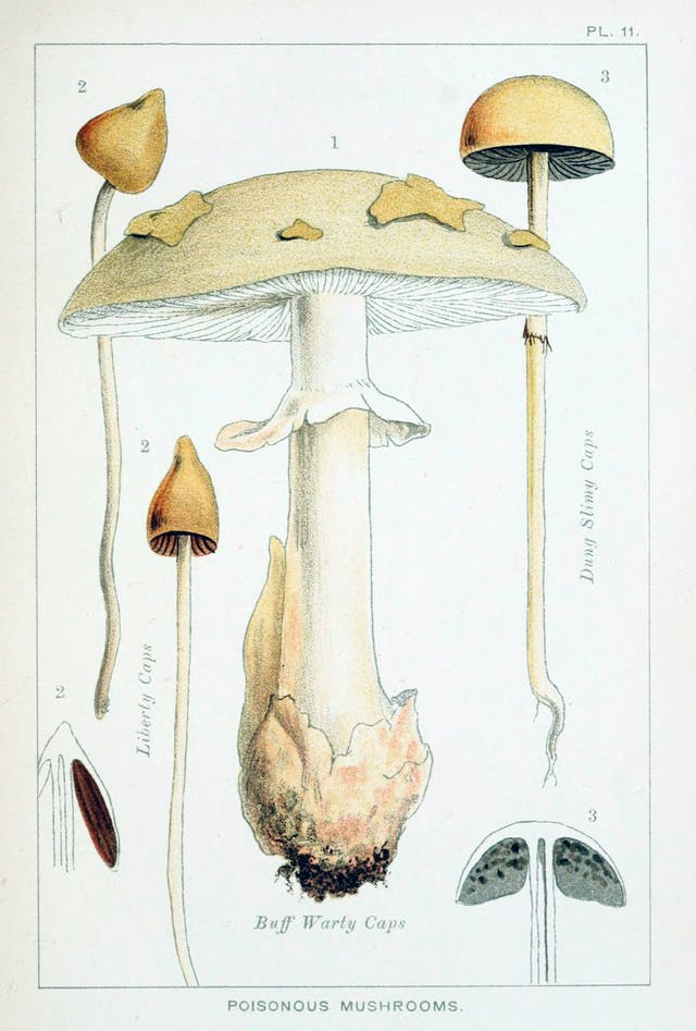 Illustration page. Coloured plate depicts three varieties of poisonous mushrooms: Liberty Caps, Buff Warty Caps, and Dung Slimey Caps. All are yellow-white mushrooms with a slender stalk.