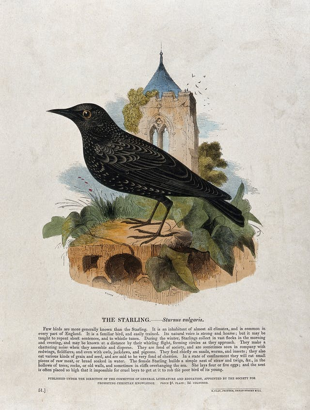 A starling sitting on a stone in front of a church, coloured wood engraving