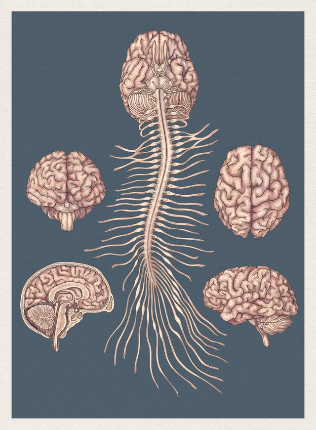 Illustration showing the human central nervous system, including several views of the brain