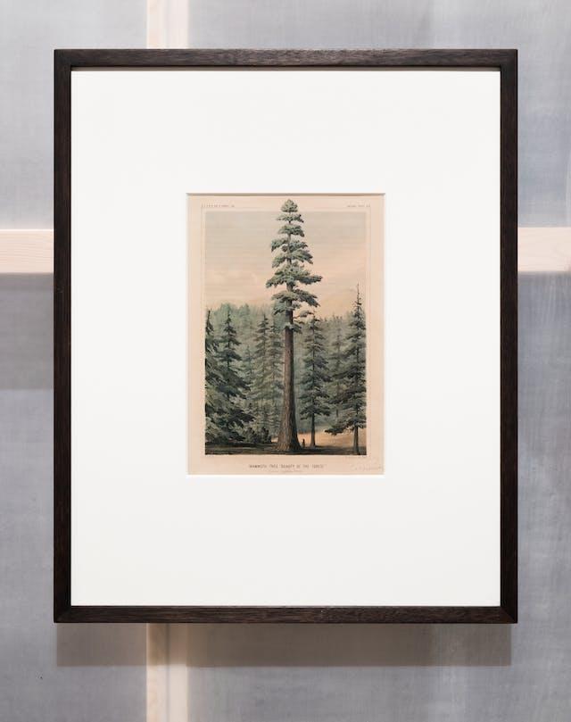 画廊中的一张照片显示了半透明墙的一部分,展示了后面的木结构,木框中挂着一幅相框版画。在画框内的窗户上,有一幅巨大的威灵顿树或猛犸树的雕刻,高耸于周围的树木之上。在树的底部有一个小小的人形。雕刻的顶部和底部是一行文字。