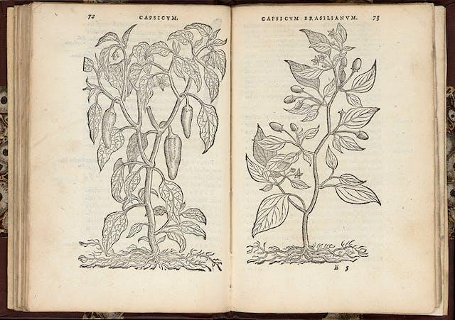 16th century capiscum illustration