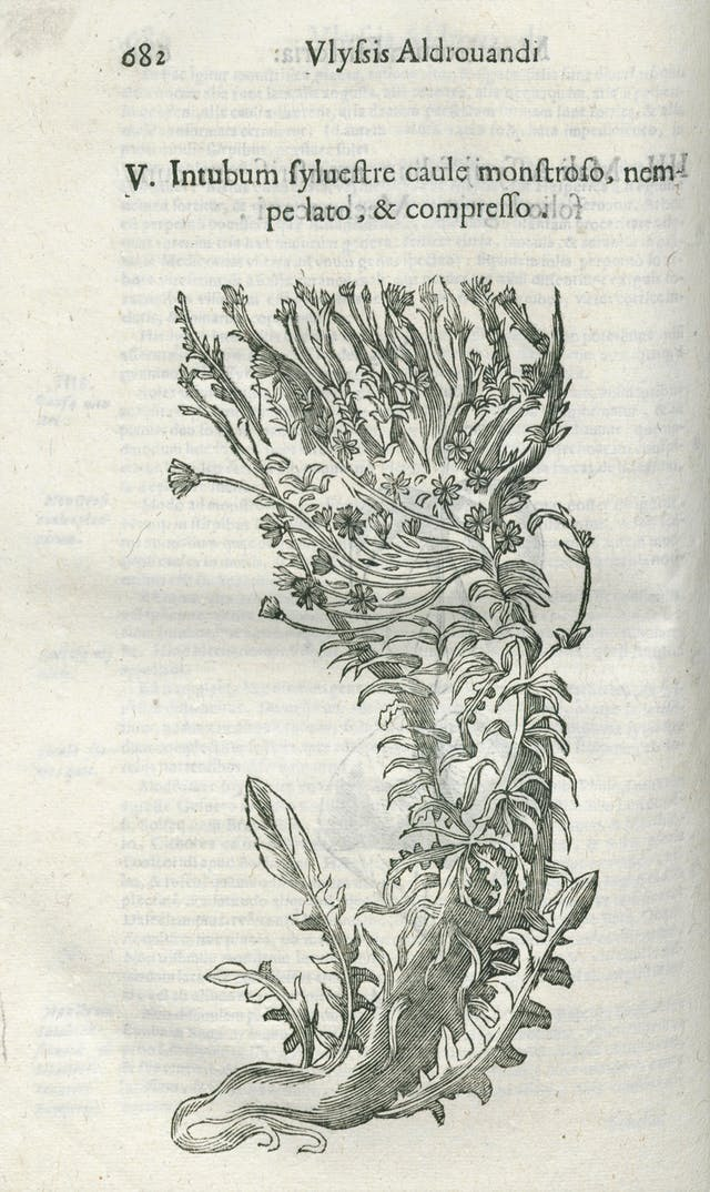 Line engraving of mutated chicory (plant).