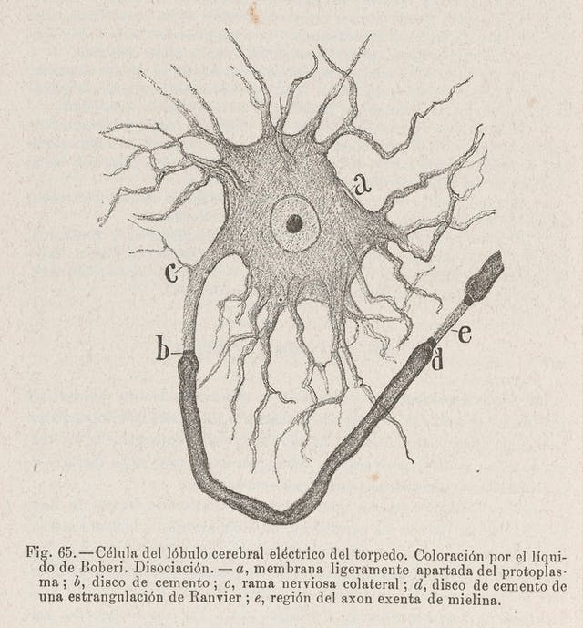 A scientific illustration of a neuron or brain cell