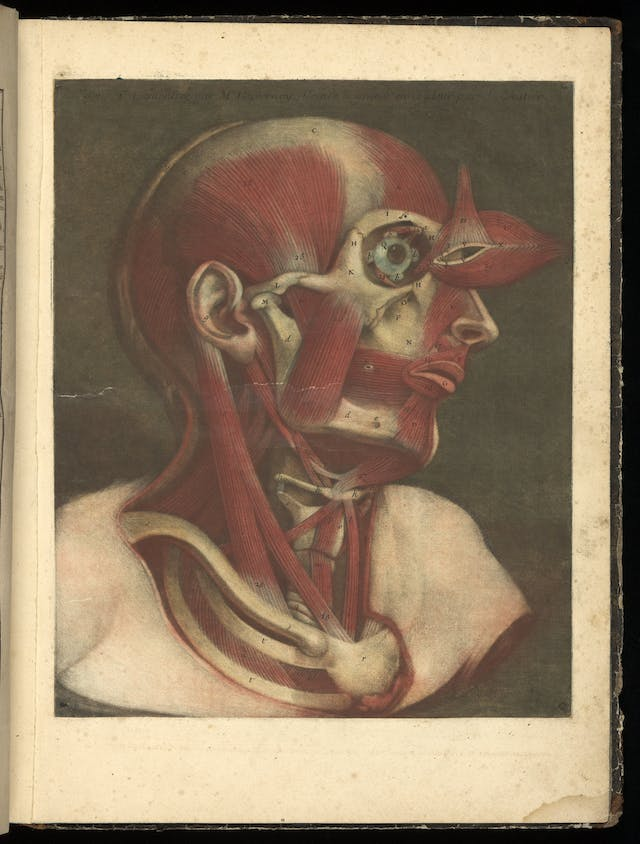Colour engraving showing the muscles of the face illustrated in colour.