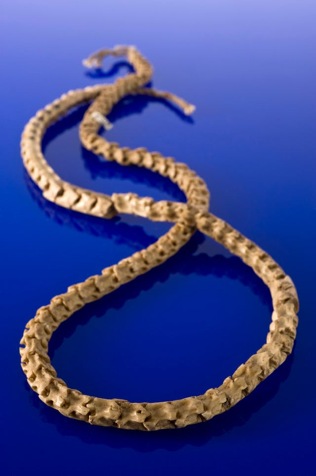 A bone necklace in a figure eight configuration on a blue background