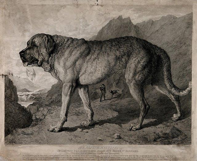 St. Bernard Dog with mountainous background