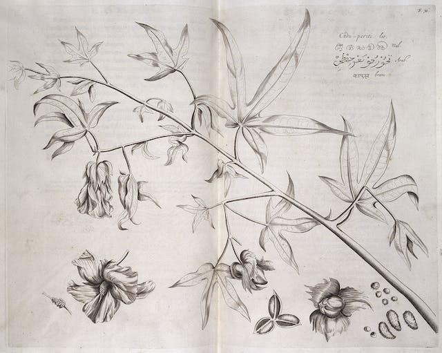 A black and white engraving of a branch with leaves, flowers, fruit and seeds.