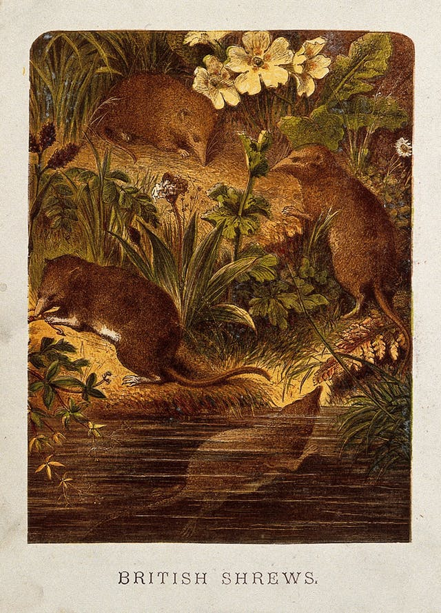 Colour illustration showing four shrews, with three on a floral bank and one underwater