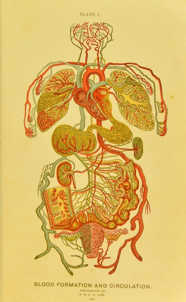 Anatomical plate showing blood formation and circulation