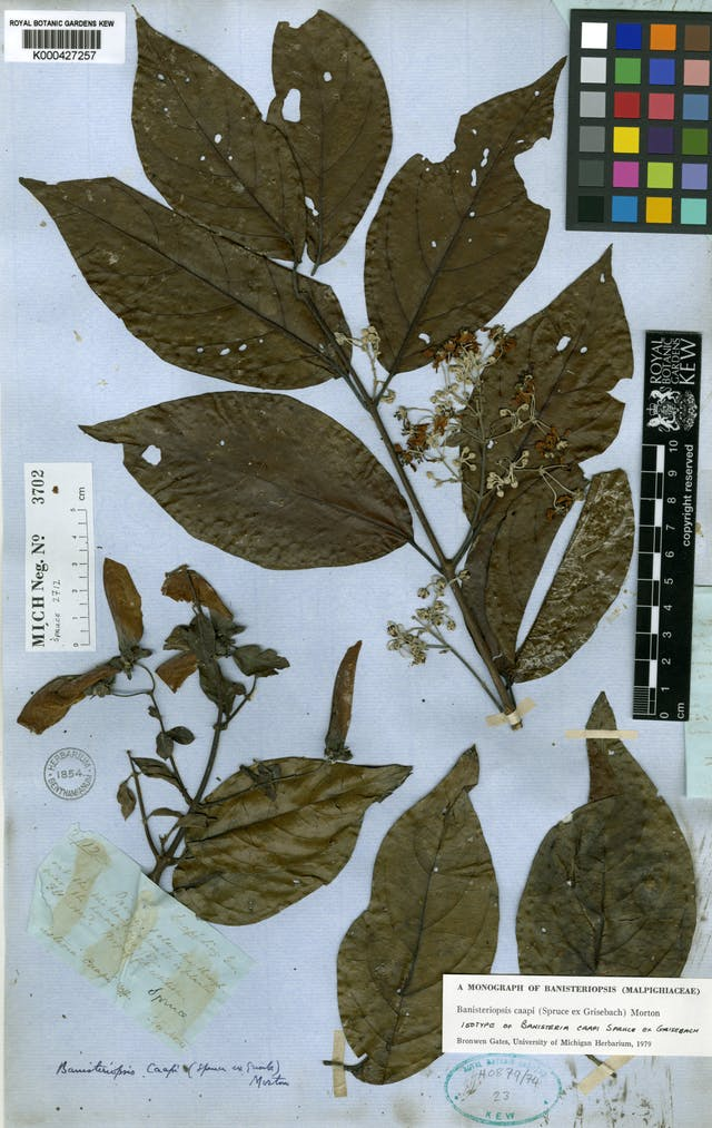 A specimen page for Banisteriopsis caapi featuring dried leaves and stems with flowers.