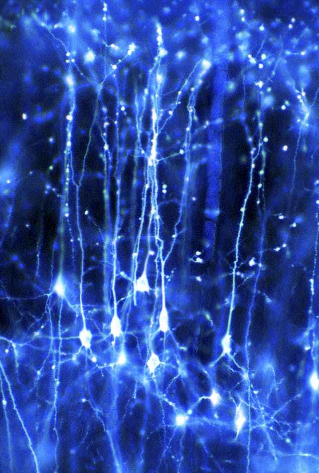 Pyramidal neurons forming a network in the brain.