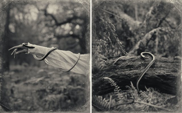 Sepia toned photograph diptych. Each image has a digital filter applied to give the impression the photograph was created using a glass-plate process from the mid 19th century. The effect of this filter includes scratches and fingerprints. Both photographs show a woodland scene made up of tall grasses, bracken and trees. The image on the left shows the outstretched arm of a woman, entering the frame from the right. She is wearing a white blouse embellished with frills and large cuffs. Wrapped around her arm and running down to her wrist is a long darkly toned snake. The image on the the right shows a section of a fallen down tree with the same snake curled around it. The centre of each of images is in sharp focus, but the edges descend quickly into a blur.