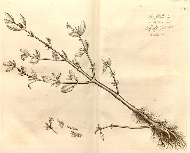 An engraving of the ginger plant from a 17th century book on medical plants.