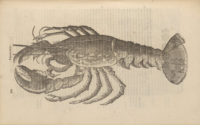 Photograph of a woodcut illustration in a 17th century early printed book, depicting a lobster.