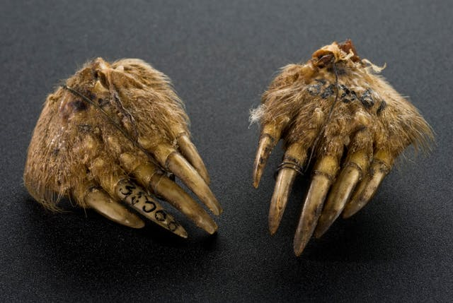 A pair of mole's feet, detached from a mole's body, held in place with wires