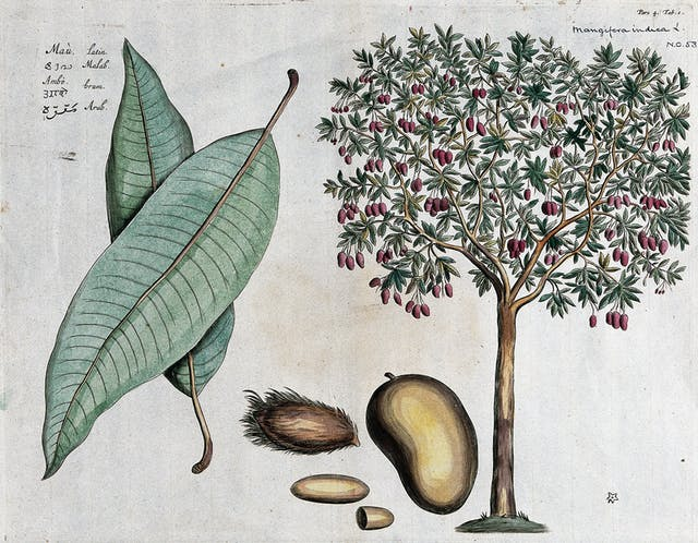 A coloured engraving of the mango tree, with close ups of the leaf, fruit and nut.