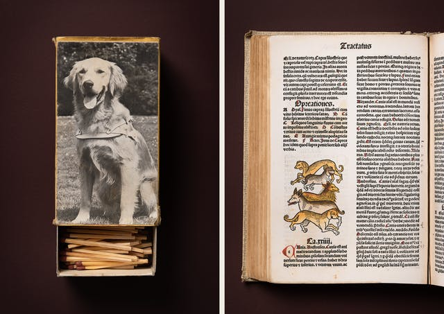 A photographic diptych. The image on the left shows an open matchbox complete with matches on the front of which is a black and white photo of golden retriever sitting, wearing a harness. The image on the right shows the left page of a medieval book featuring Latin text and an illustration of five dogs one behind the other in different tones of yellow.  The items appear on a plain brown background.