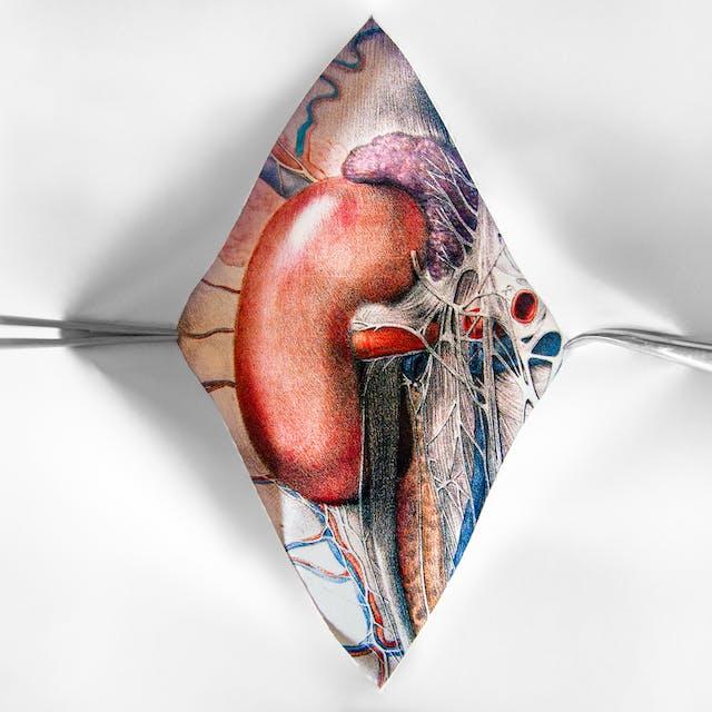 Kidney illustration by Emily Evans