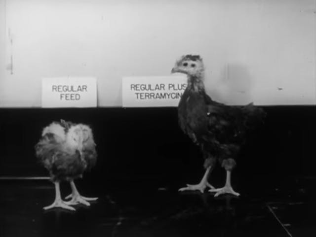 Still from black and white film featuring two chickens, one on regular feed, the other on regular plus terramycin