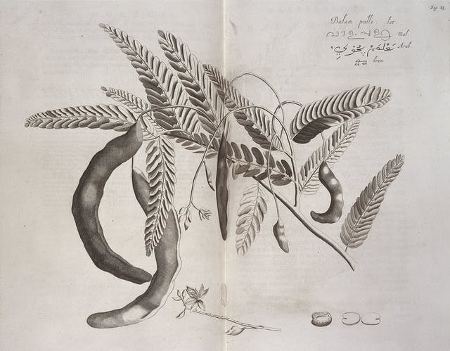 A black and white engraving of a branch with leaves and seed pods.