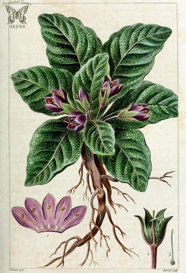 mandragora officinalis (mandrake)