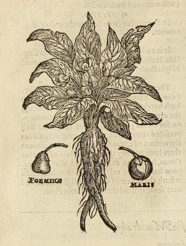 Herbal image of a Mandrake plant 1597