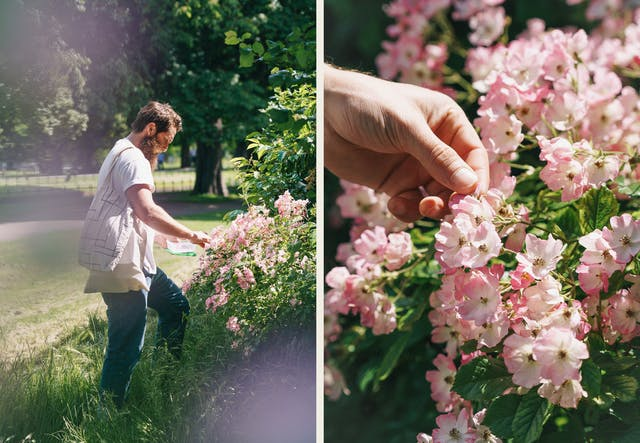 Photographic diptych. The image on the left shows a bearded man wearing jeans and a white t-shirt in an urban park picking pink rose petals from a rose bush. In his had he holds a Tupperware collecting box and he has several tote bags over his shoulder. The sun is bright and he is framed by a couple of out-of-focus flowers. The image on the right shows a close-up of a man