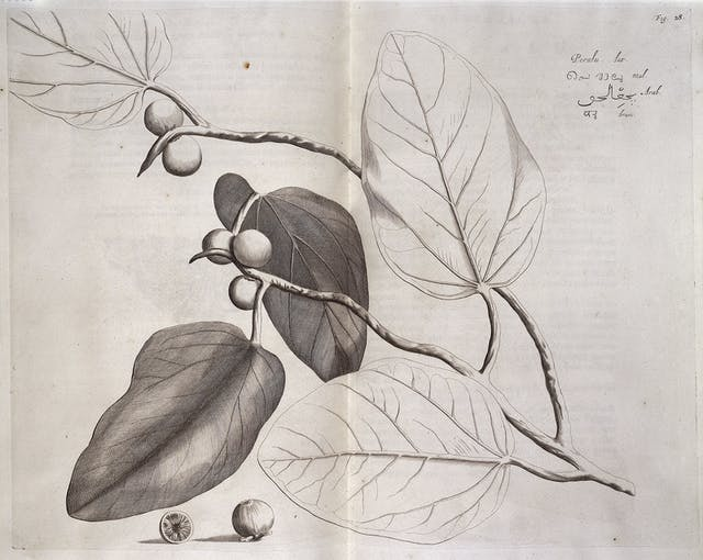 A black and white engraving of a branch with leaves and fruit.