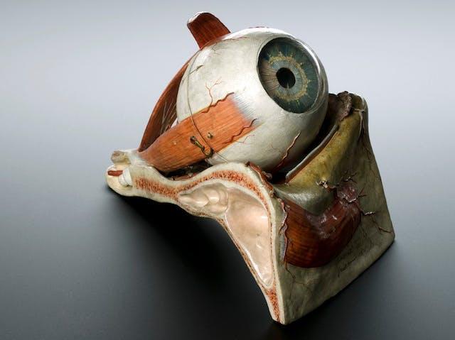 Image of anatomical model of the eye