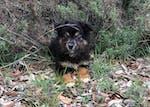 mini toy australian shepherd aussie
