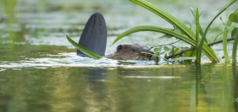Baby beaver in the water at Ham Fen