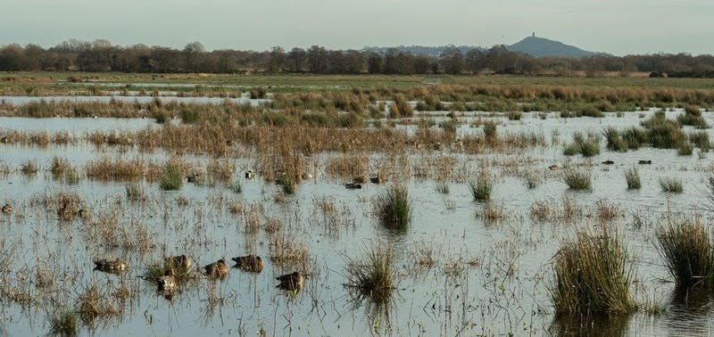 Sleeping ducks on water amongst reed beds at dusk